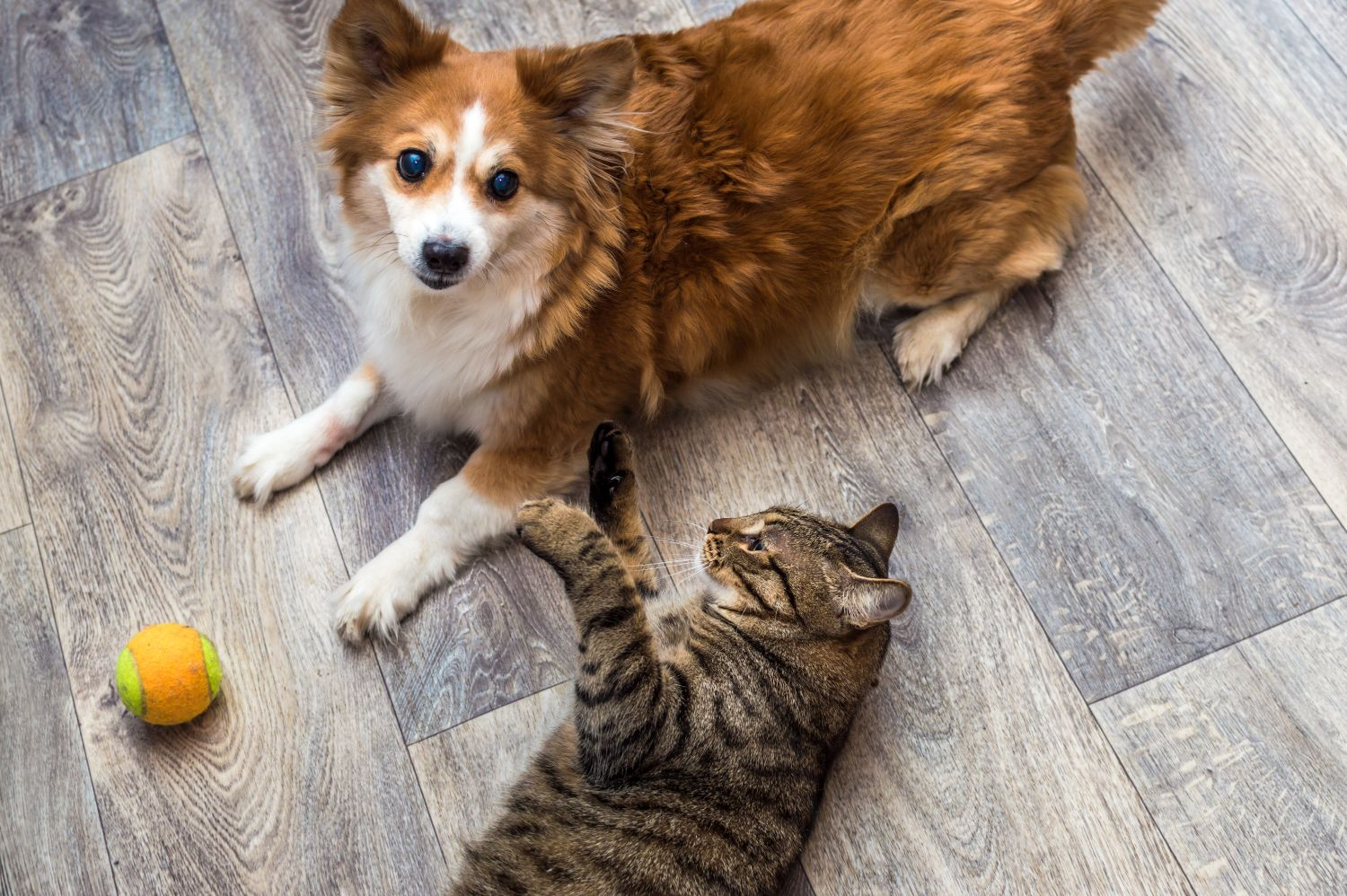 Dog and cat playing with ball.